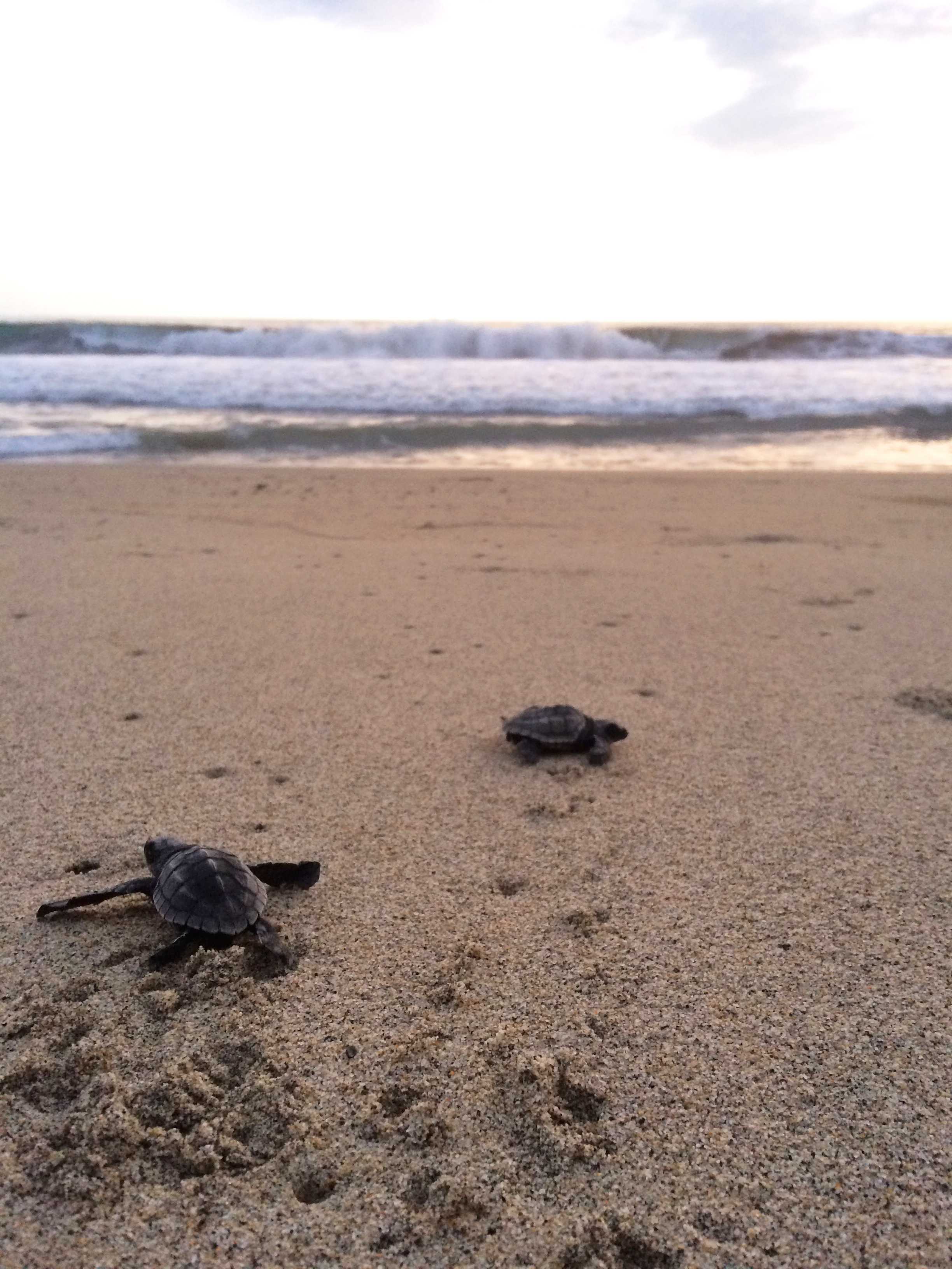 turtles_puerto_escondido